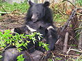 Formosan black bear suckling cubs.jpg