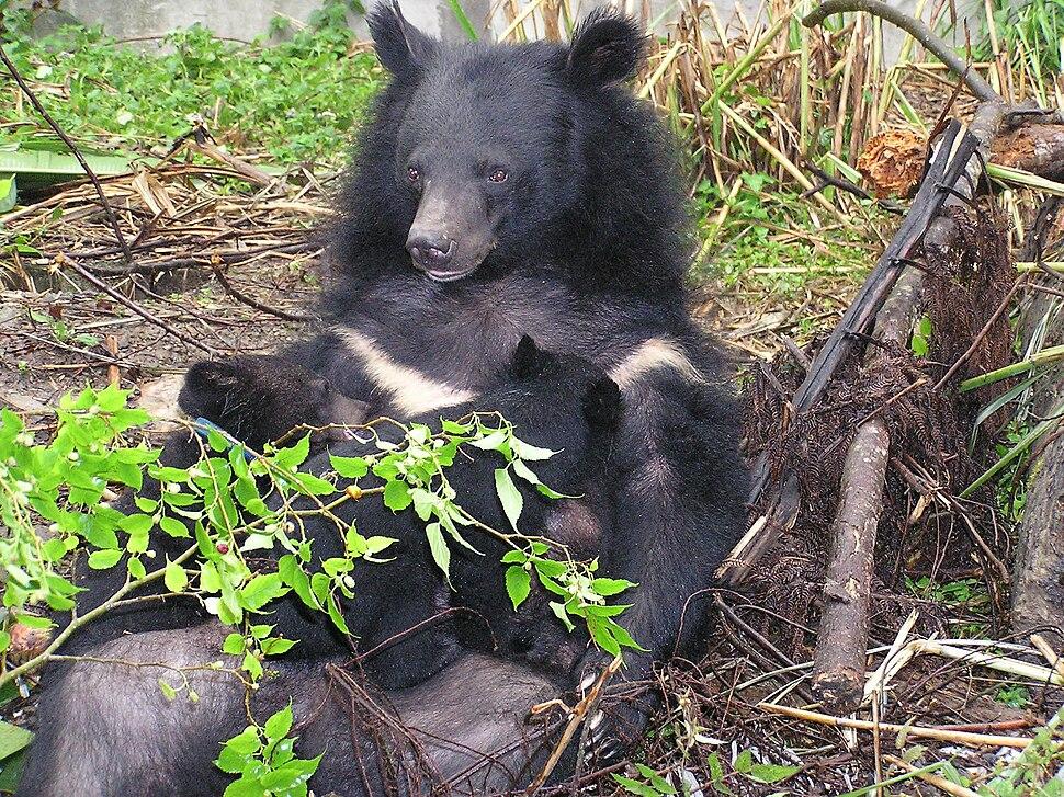Formosan black bear suckling cubs