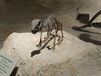 Cottontail rabbit - Pleistocene fossil