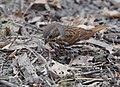 Fox Sparrow (33290342306).jpg