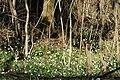 Frühlings-Knotenblume, Leucojum vernum 60.JPG