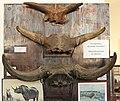 Fragment der Schädel des fossilen Bisons. 2H1A0285WI.jpg