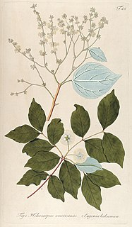 <i>Heliocarpus americanus</i> species of plant