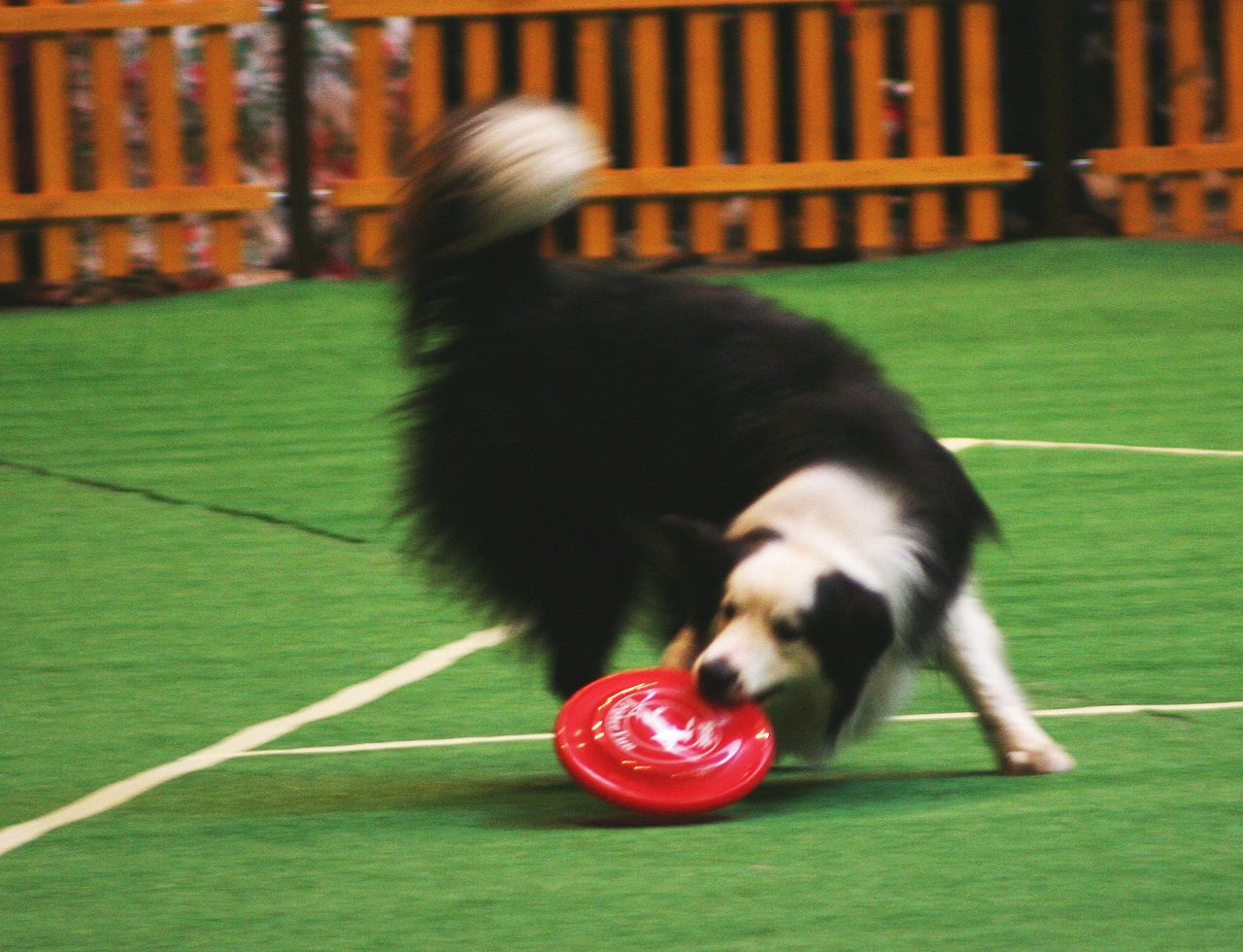 Image result for competition frisbee for dogs