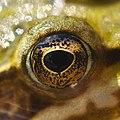 Frog S Eye (33535153).jpeg