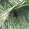 Fruit bat (31914586625).jpg