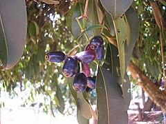 Frutos de Jambolão.JPG