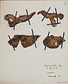 Fungi agaricus seriesI 042.jpg