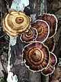 Fungi on rotting log, Cape Hillsborough National Park, Queensland 02.jpg