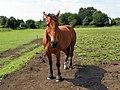 GOC Ickleford 033 Horse (7831305590).jpg