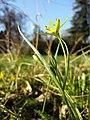 Gagea pratensis subsp. transversalis sl5.jpg