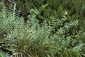 Galium lucidum 1.jpg