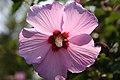 Garden Hibiscus.JPG