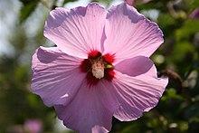 BLOQUE 1: Hechos y Fenomenos: Corea del sur 220px-Garden_Hibiscus