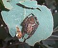 Garden orb weaver14.jpg