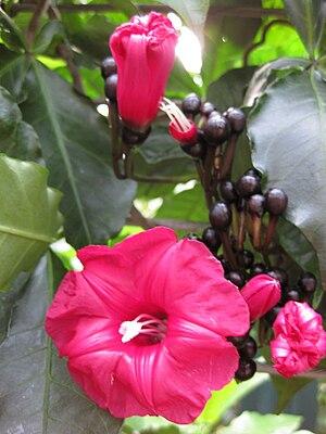 Ipomoea horsfalliae - Image: Gardenology IMG 4854 hunt 10mar
