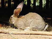 Flemish Giant rabbit - Wikipedia