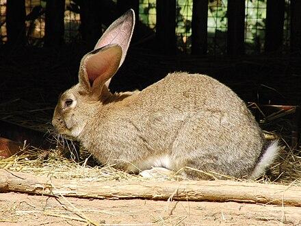Flemish Giant Rabbit Wikiwand