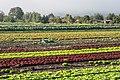 Gemüseanbau im Tägermoos.jpg