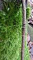 Gemeines-Kurzbüchsenmoos.jpg
