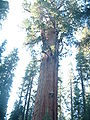 General Sherman Tree, Sequoia National Park.JPG