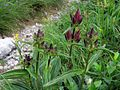 Gentiana pannonica PID1354-8.jpg