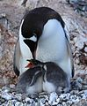 Gentoo Penguin with chicks at Jougla Point, Antarctica (6063685094).jpg