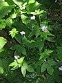 Geranium × oxonianum01.jpg