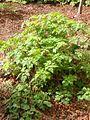 Geranium Robertianum - Totale.jpg