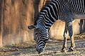 Gfp-grevys-zebra.jpg