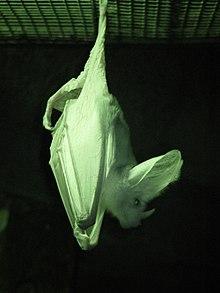 ghost bat wikipedia