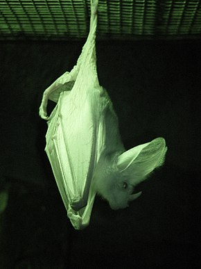 Ghost bat infrared Perth zoo.jpg