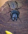 Giant Ground Beetle (Dinoscaris sp.) (9616176586).jpg