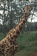 Giraffe02(js).jpg