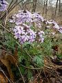 Glandularia canadensis by Danny S. - 002.JPG