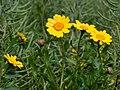 Glebionis segetum inflorescence (11).jpg