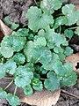 Glechoma hederacea 109390307.jpg