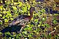 Glossy Ibis (Plegadis falcinellus) (6852448290).jpg
