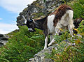Goat in the Valley of Rocks.jpg