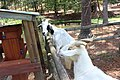 Goats, General Coffee State Park.jpg