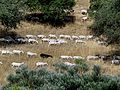 Goats herd in Nahal Hashiva (9).JPG