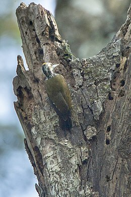 Golden-crowned Woodpecker - Kakamega Kenya 06 2536 (16224262859).jpg
