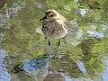 Golden Plover James Brennan Hawaii (122076491).jpeg