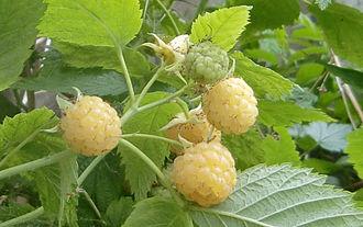 Raspberry - Fruits of a golden or yellow raspberry cultivar