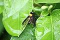 Golden backed snipe fly (4714368659).jpg