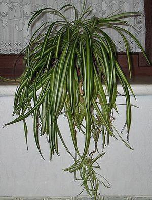 Chlorophytum comosum 'Variegatum' mit Ablegern