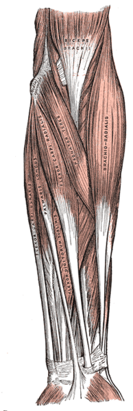 Superficial layer of the forearm. Muscles of the arms. Forearm muscles.
