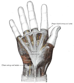 Proper palmar digital nerves of median nerve - Image: Gray 425