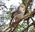 Gray Tit-Flycatcher (Myioparus plumbeus).jpg