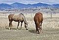 Grazing Montana Horses.jpg